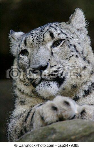 Snow Leopard - csp2479385