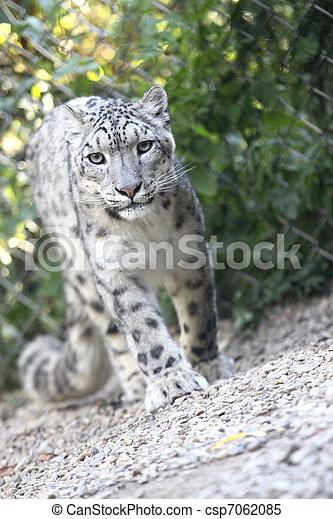 snow leopard - csp7062085