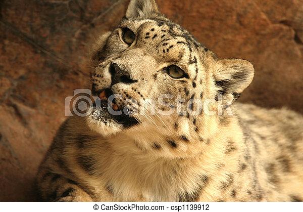 Snow leopard - csp1139912