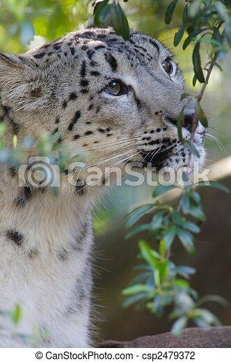 Snow Leopard - csp2479372