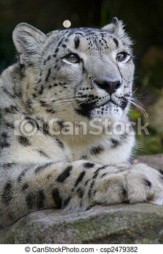 Snow Leopard - csp2479382