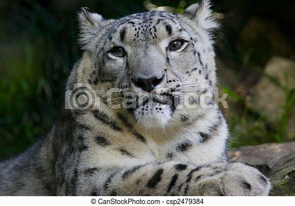 Snow Leopard - csp2479384