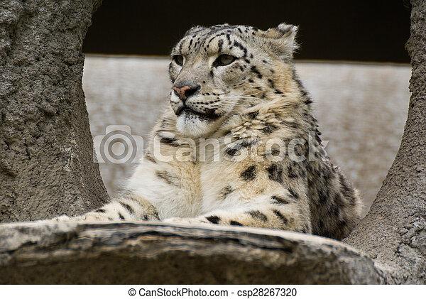 snow leopard - csp28267320