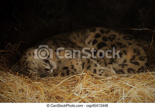 Snow leopard - csp45413448