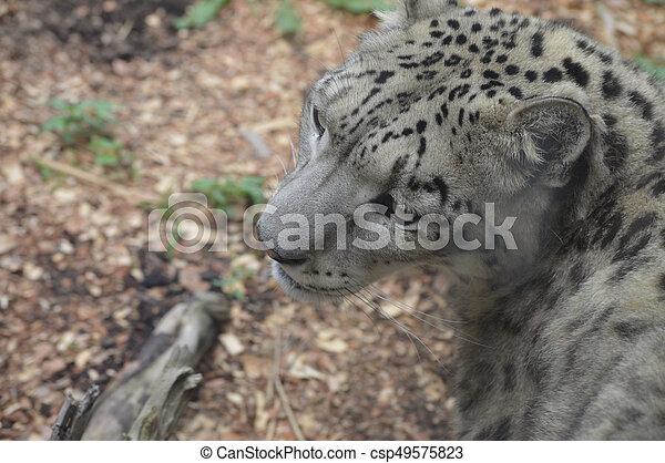 Snow Leopard - csp49575823