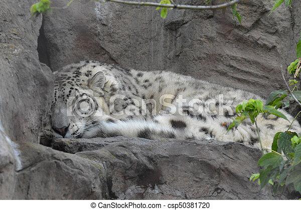 Snow Leopard - csp50381720