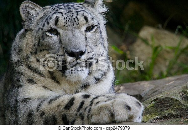 Snow Leopard - csp2479379