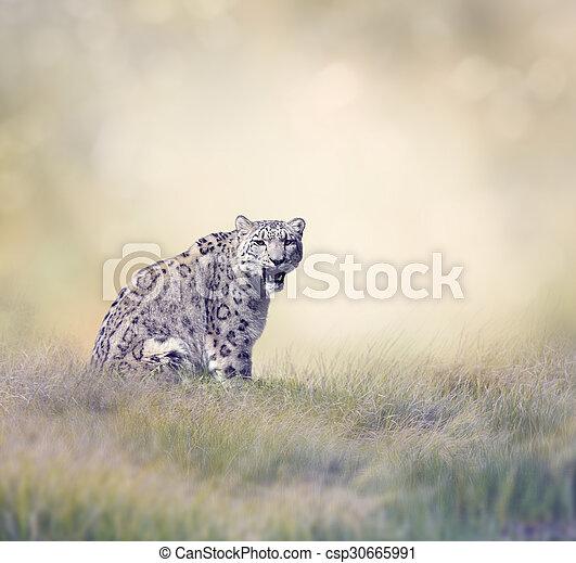 Snow Leopard - csp30665991