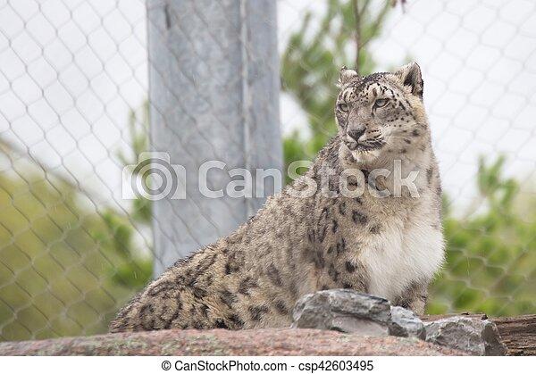 Snow leopard - csp42603495