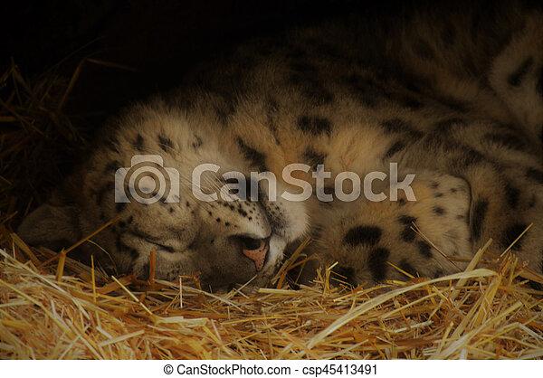 Snow leopard - csp45413491