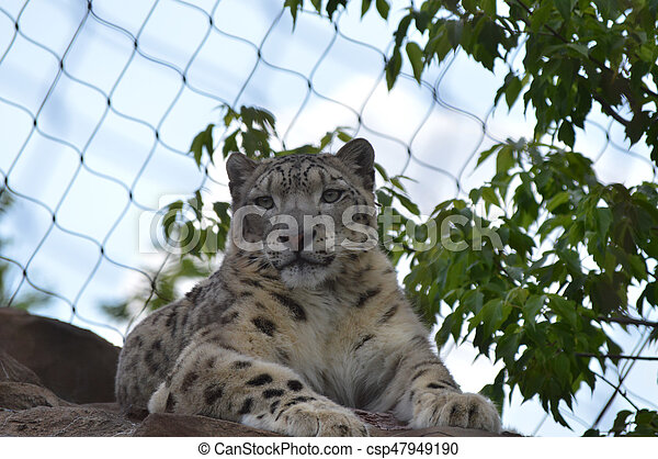 Snow Leopard - csp47949190