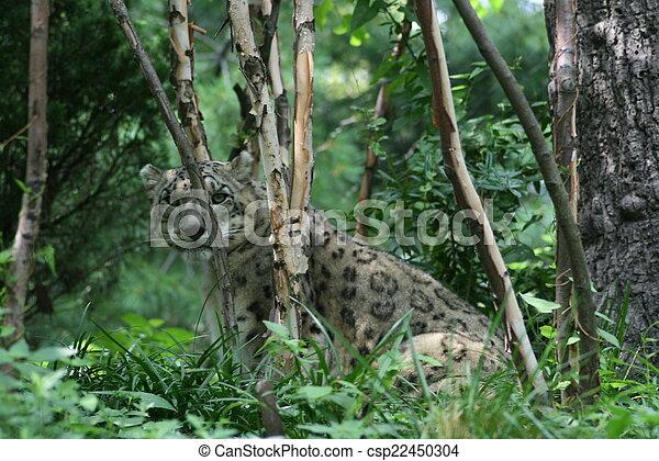 Snow Leopard - csp22450304