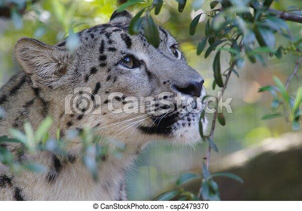 Snow Leopard - csp2479370