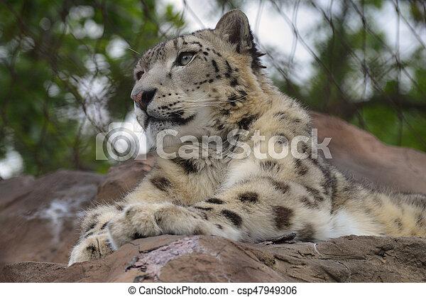 Snow Leopard - csp47949306