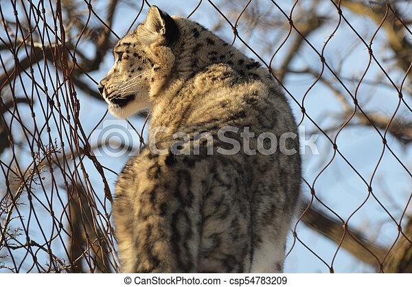 Snow Leopard - csp54783209