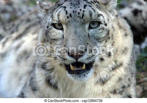 Snow Leopard - csp12884736