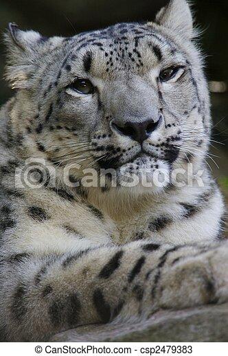 Snow Leopard - csp2479383