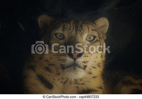 Snow Leopard - csp44807233