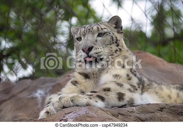 Snow Leopard - csp47949234