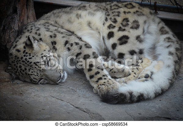 Snow Leopard - csp58669534