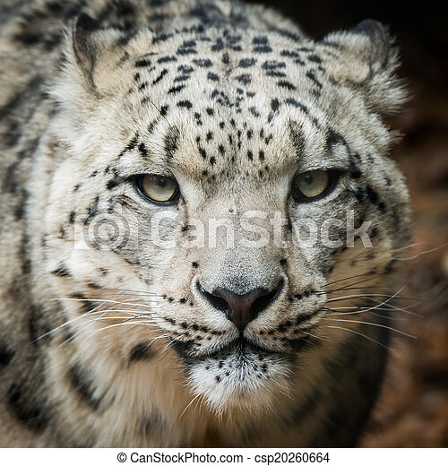 Snow Leopard VIII - csp20260664
