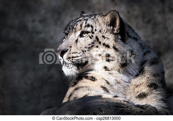 Snow Leopard XI - csp26813000