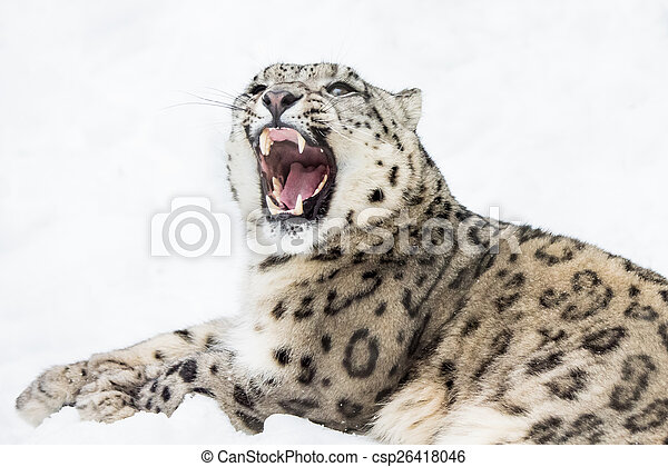 Snow Leopard XII - csp26418046