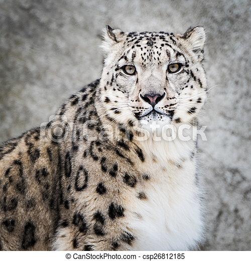 Snow Leopard XIV - csp26812185