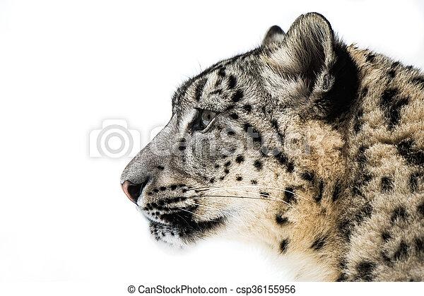 Snow Leopard XV - csp36155956