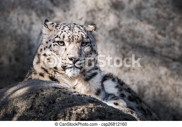 Snow Leopard XVII - csp26812160