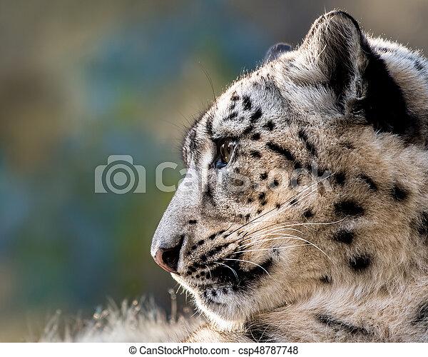 Snow Leopard XXIX - csp48787748