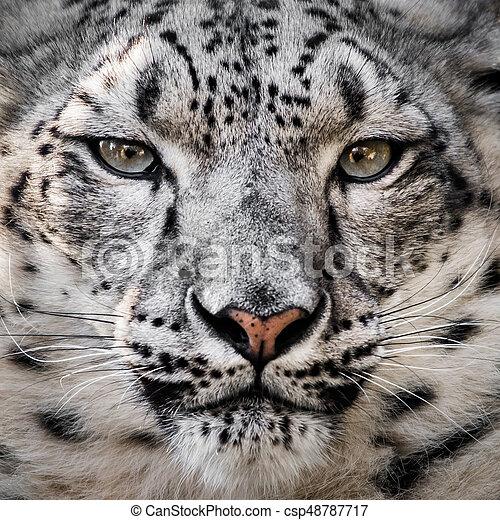 Snow Leopard XXVI - csp48787717