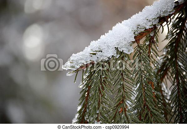Snow on Fir Branch - csp0920994