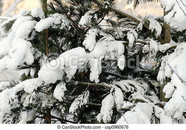 Snow on Fir Branches - csp0960676
