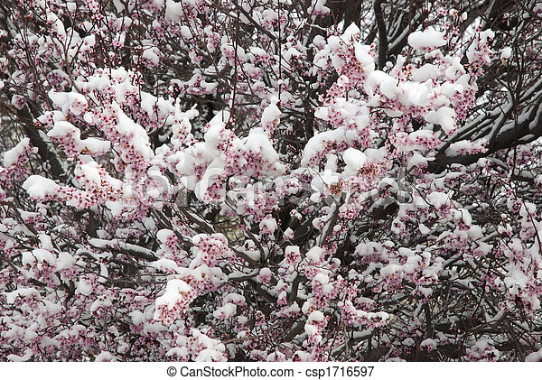 snow on spring blossoms - csp1716597