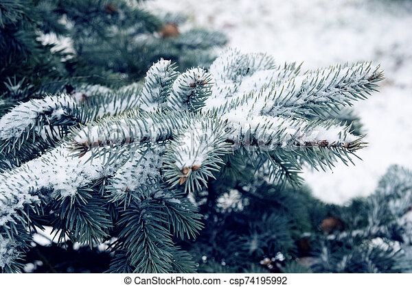 Snow on the branches of blue spruce - csp74195992
