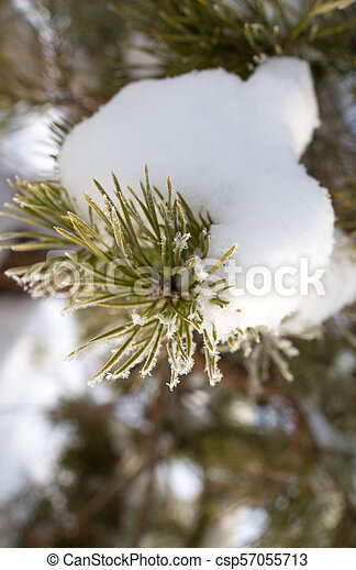 Snow on the Christmas tree in winter - csp57055713