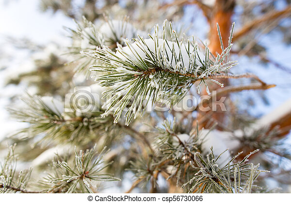 Snow on the Christmas tree in winter - csp56730066