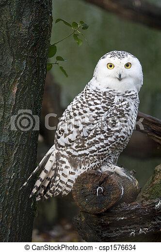 snow owl - csp1576634