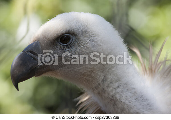 Snow vulture gyps himalayensis - csp27303269