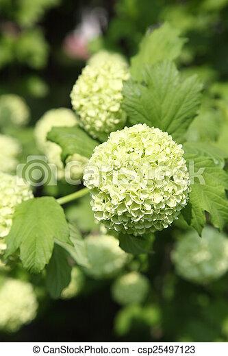 Snowball bush white flowers in the shape of balls bush snowball bush csp25497123 mightylinksfo