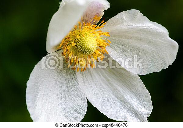 Snowdrop anemone blossom large white flower with yellow stamen snowdrop anemone blossom large white flower with yellow stamen csp48440476 mightylinksfo
