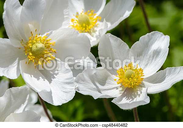 Snowdrop anemone blossom large white flower with yellow stamens snowdrop anemone blossom large white flower with yellow stamens csp48440482 mightylinksfo