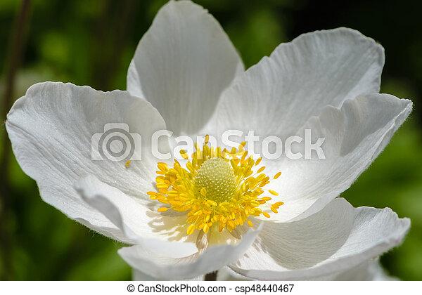 Snowdrop anemone blossom large white flower with yellow stamens snowdrop anemone blossom large white flower with yellow stamens csp48440467 mightylinksfo