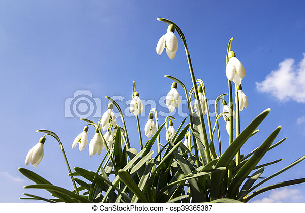 Snowdrop Flowers against Blue Sky - csp39365387