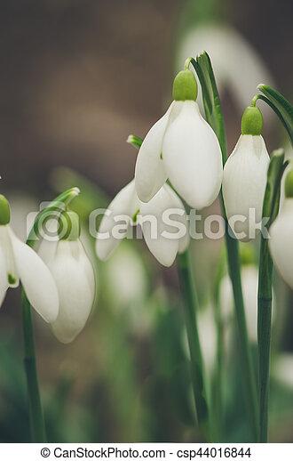snowdrop flowers detail - csp44016844