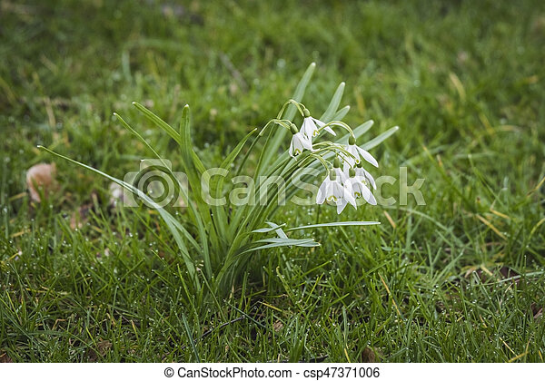 Snowdrop flowers on a green lawn - csp47371006