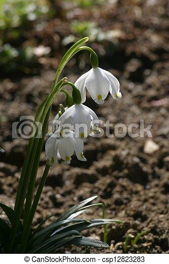 Snowdrop flowers - csp12823283