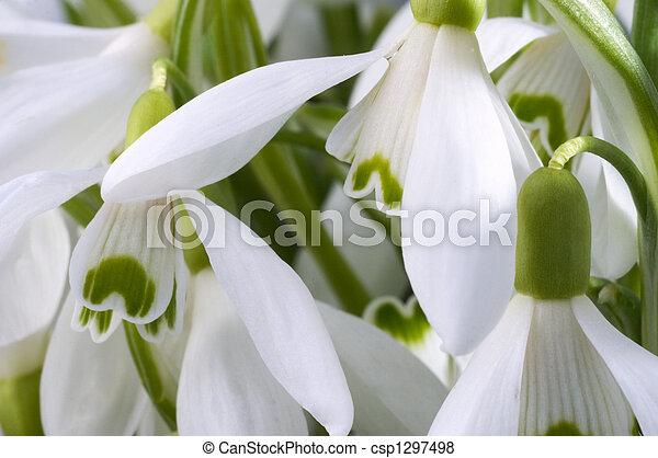 snowdrop flowers - csp1297498