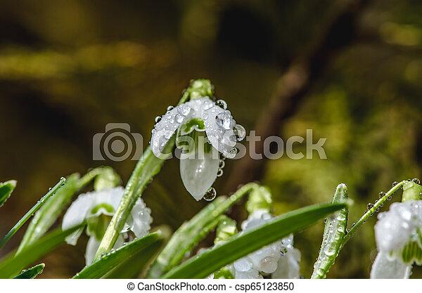 snowdrop flowers - csp65123850
